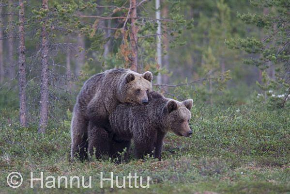 Karhun Lisääntyminen